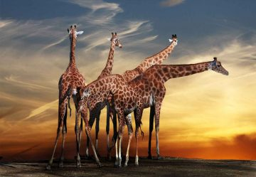 The Giraffes