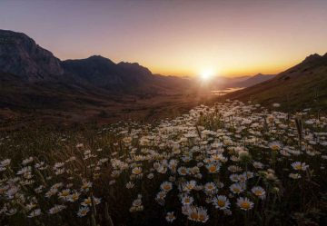Daisies Fields Forever