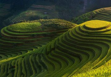 Gold Rice Terrace
