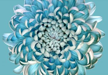 Blue Chrysanth