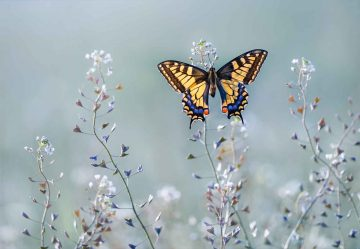 Swallowtail Beauty