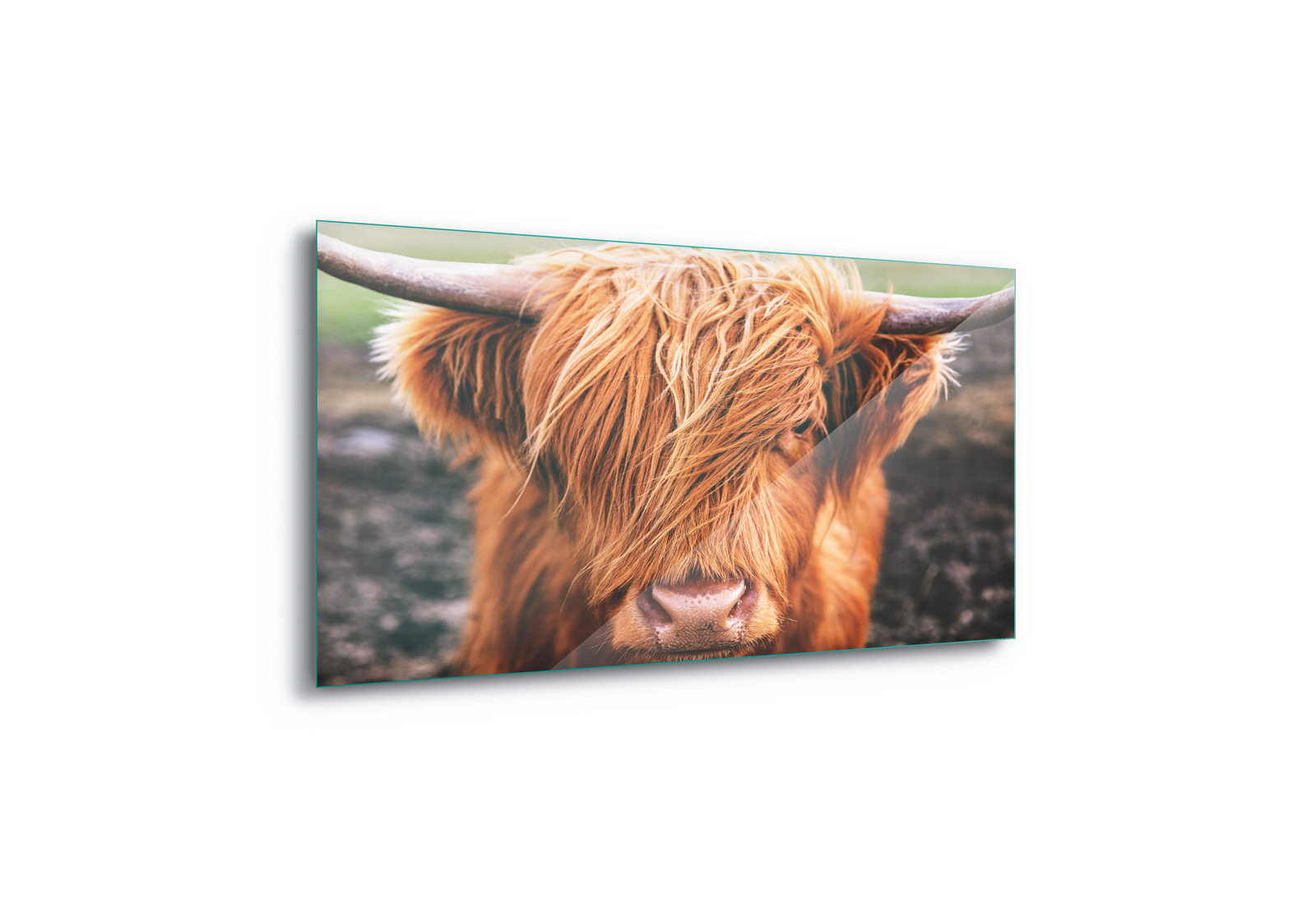 Highland Cow Cattle Scotland Canvas Amp Glass Wall